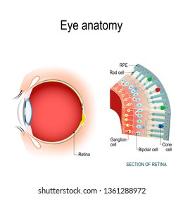 Eye anatomy. Rod cells and cone cells. The arrangement of retinal cells is shown in a cross section. diagram for your design, educational, biological, science and medical use