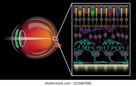 Eye structure and the different layers of retinal cells