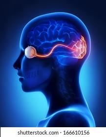 Augen- und visuelle Cortex-Nerven