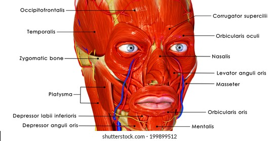 Facial Muscles Images, Stock Photos & Vectors | Shutterstock