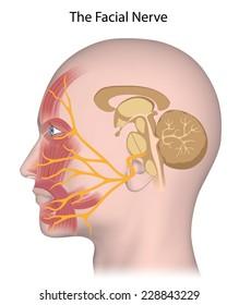 The facial nerve anatomy