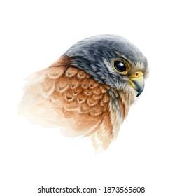 Falcon bird portrait watercolor illustration. Hand drawn close up realistic kestrel head image. Wild predator avian element. Europe hawk image. Bird of prey isolated on white background.