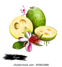 Feijoa fruit isolated on white background. Pineapple guava fruit of Myrtaceae family. Tasty evergreen shrub fruit of Acca sellowiana. Colorful drawing with paint splashes and drips. Digital art design