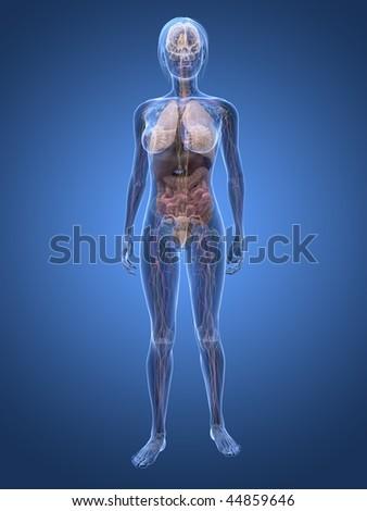 Female Anatomy Stock Illustration Royalty Free Stock Illustration