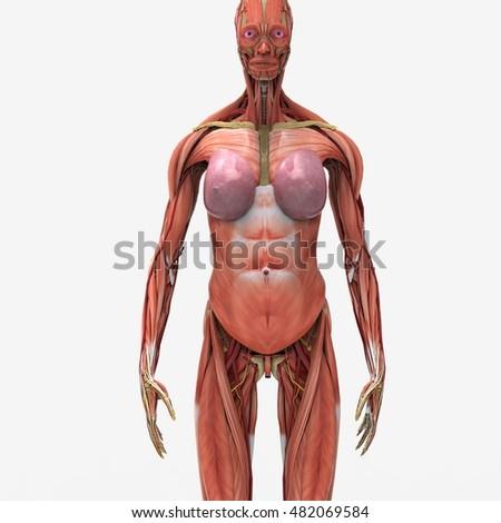 Female Anatomy Muscular System 3 D Stock Illustration 482069584