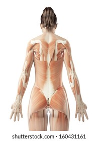 female back muscles