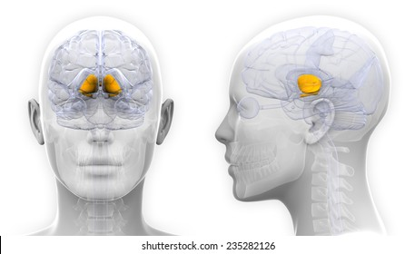Basal Ganglia Images Stock Photos Vectors Shutterstock