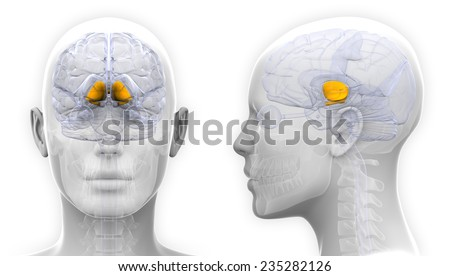 Female Basal Ganglia Brain Anatomy Isolated Stock Illustration ...