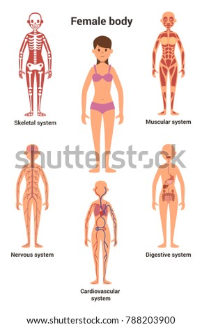 Female Body Human Anatomy Skeletal Muscular Stock Illustration ...