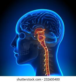Female Brain Stem with Nerves - Anatomy