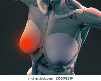 Female breasts anatomy breast cancer. 3d illustration