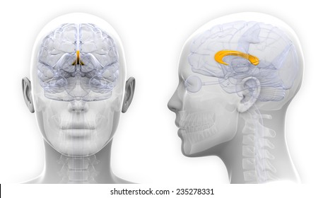 Corpus Callosum Images, Stock Photos & Vectors | Shutterstock