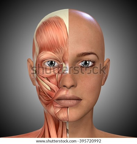 Female Face Muscles Anatomy Stock Illustration 395720992 Shutterstock