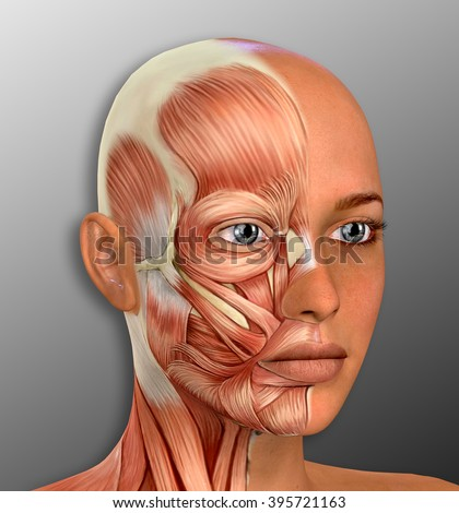 Female Face Muscles Anatomy Illustration Stock Illustration