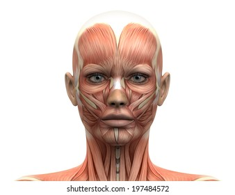 Female Head Muscles Anatomy - Front view