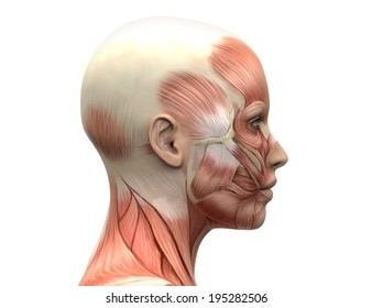 Female Head Muscles Anatomy - Side view