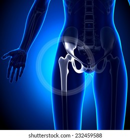 Female Hip Joint - Anatomy Bones