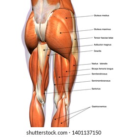 Female Hip and Leg Muscles Labeled Posterior View, 3D Rendering
