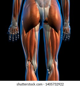 Female Hip and Leg Muscles Posterior View 3D Rendering on Black Background