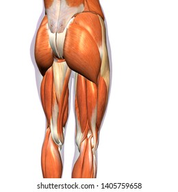 Female Hip and Leg Muscles Posterior, 3D Rendering on White Background