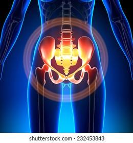 Female Hip, Sacrum, Pubis, Ischium, Ilium - Anatomy Bones