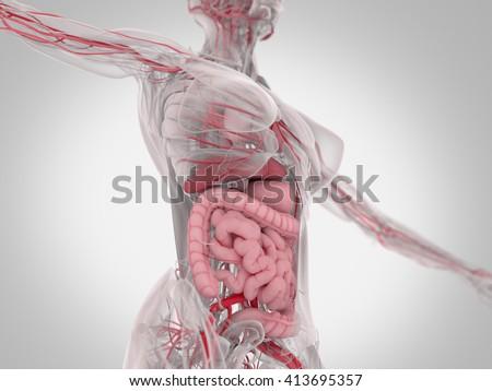 Female Human Anatomy Torso Showing Intestines Stock Illustration ...