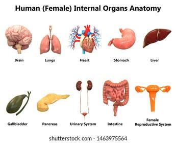 Female Internal Organs Anatomy. 3D