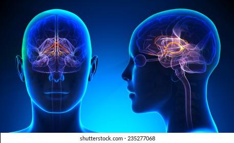Female Limbic System Brain Anatomy - blue concept