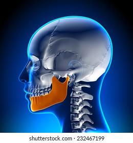 Female Mandible - Jaw Anatomy