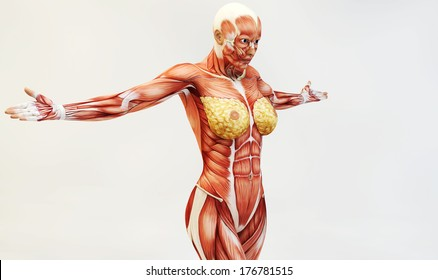 Female Muscle Anatomy Images Stock Photos Vectors Shutterstock