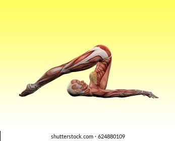 Female muscle anatomy doing yoga 3D Illustration