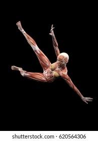 Female Muscle Anatomy falling 3D Illustration