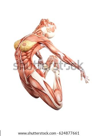 Female Muscle Anatomy Jumping 3 D Illustration Stock Illustration