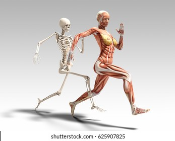 Female muscle anatomy and skeleton running 3D Illustration
