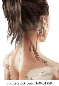 female muscles of the neck