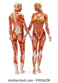 Female musculoskeletal system front and back isolated on a white background .Part of a muscle medical series.
