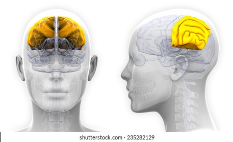 Parietal Lobe Images, Stock Photos & Vectors | Shutterstock