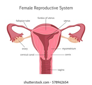 Female Reproductive System.