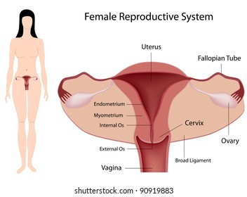 Female reproductive system images stock photos vectors shutterstock ccuart Images