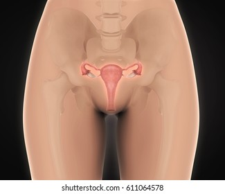 Female Reproductive System. 3D rendering