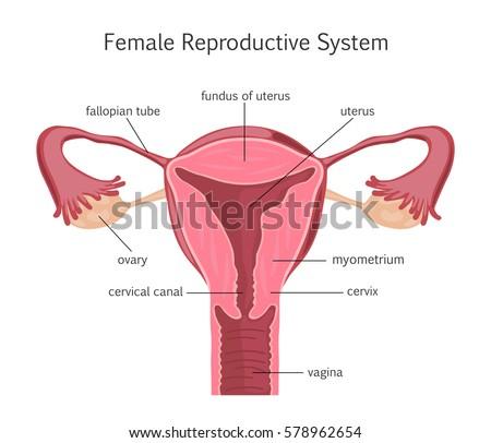 Female Reproductive System Stock Illustration 578962654 - Shutterstock