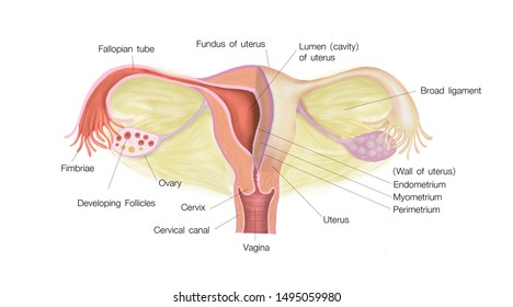 Female Reproductive system diagram Full system uterus and cross section study part to show inside anatomy for Medical book and lable each part correctly 2d paint illustration