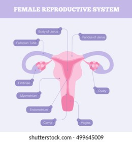 Female reproductive system flat info graphic. Human anatomy including fallopian tube Ovary Cervix Vagina and body of uterus with graphic element