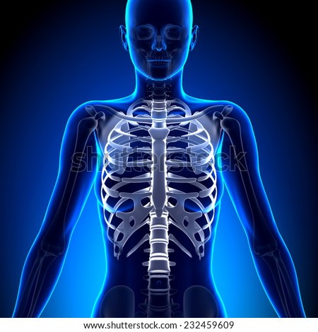 Female Rib Cage Anatomy Bones Stock Illustration 232459609