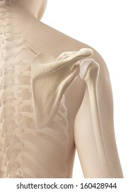female shoulder - skeletal anatomy