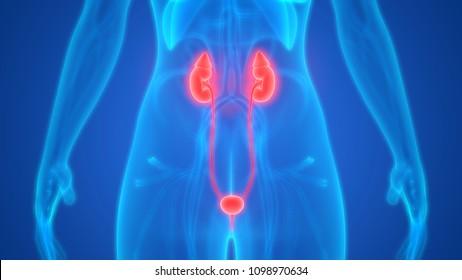 Female Urinary System Kidneys with Bladder Anatomy. 3D