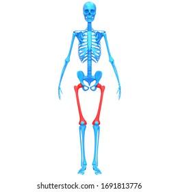 Femur Bone Joints of Human Skeleton System Anatomy 3D Rendering