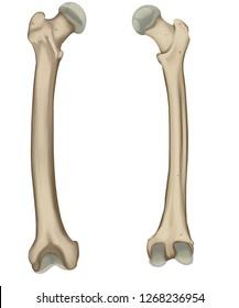 The femur or thigh bone