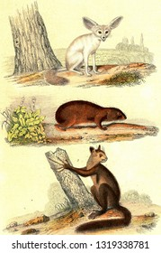 Fennec fox, The Guinea pig, Aye-aye, vintage engraved illustration. From Buffon Complete Work.