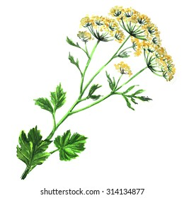 Fennel flowers anise with leaves, watercolor painting on white background